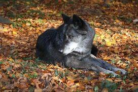 Ein Timberwolf lief im bunten Herbstlaub.