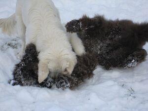Neufundländer Lohmann und Golden Retriever Buddy spielen im Schnee.