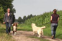 Ein braun-weißer Australian Shepherd geht ohne an der Leine zu ziehen an einem ziehenden Golden Retriever vorbei.