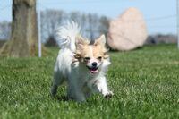 Eine langhaariger Chihuahua läuft über eine Wiese.