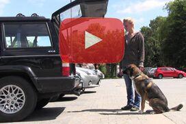 Ein Schäferhund-Mischling wartet vor dem Auto auf das Zeichen zum Einsteigen.