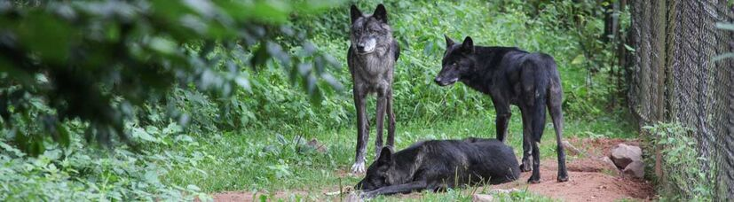 Zwei grau-schwarze Wölfe stehen neben einem liegenden Wolf.