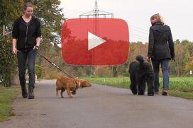 Ein Bouvier geht an lockerer Leine an einem Hund vorbei.