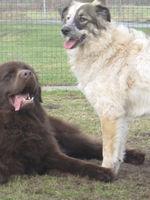Neufundländer Lohmann und Australian Shepherd-Mischling Ronja machen eine kurze Pause vom wilden Spiel.