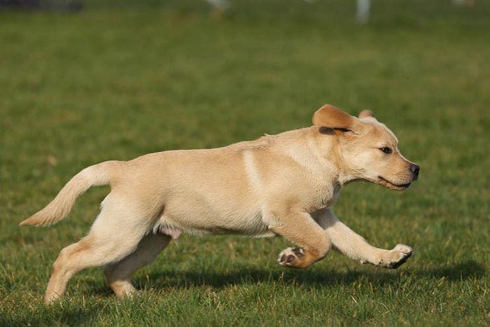 Ein Labrador-Welpe rennt über eine Wiese.