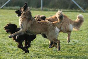 Zwei große Bärenhunde spielen mit einem Deutsch Drahthaar.