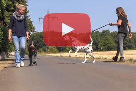 Ein Deutsch Drahthaar geht an lockerer Leine an einem ziehenden Hund vorbei.