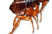 Den Artikel lesen: Blutsauger Floh: Parasiten beim Hund