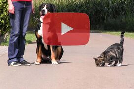 Ein Großer Schweizer Sennenhund sitzt ruhig zwischen einr Frau und einer Katze.
