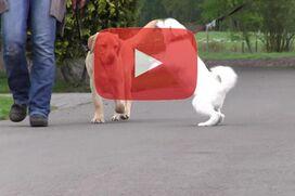 Ein Labrador geht an lockerer Leine, während ein Spitz or ihm hochspringt.