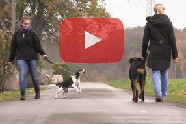 Ein Rottweiler geht gelassen an einem kläffenden Hund vorbei.