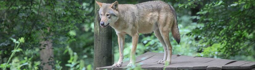 Ein grau-brauner Wolf steht auf einem Holzpodest im Wald.