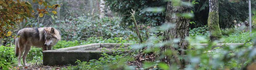 Ein schwedischer Wolf steht im Wald an einem steinernen Wasserbecken.