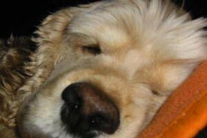 American Cocker Spaniel Eddi schläft auf einer Wolldecke.