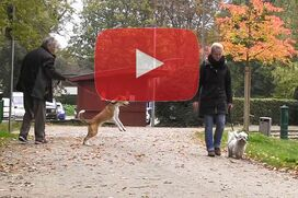 Ein Havaneser geht an lockerer Leine an einem Hund vorbei, der zerrend in der Leine hängt.