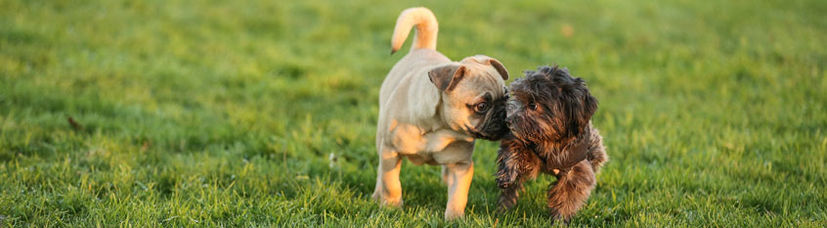 Zwei kleine Hunde spielen miteinander.