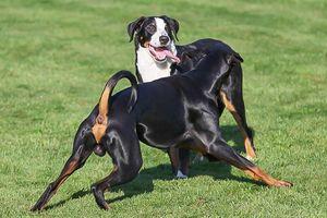 Unkastrierte Rüden in unserer Hundepension