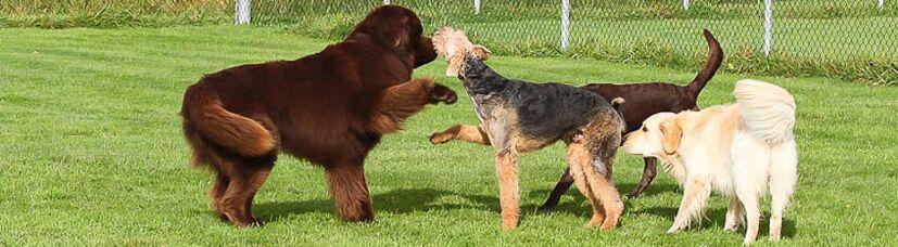 Neufundländer und Airedale Terrier beim Spielen.
