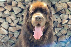 Ein brauner großer Hund sitzt vor einem Stapel Holz.
