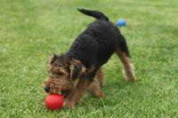 Ein junger Welsh Terrier spielt auf einer Wiese mit einem roten Ball.