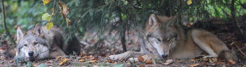 Zwei junge mongolische Wölfe liegen unter einer Tanne im Herbstlaub.