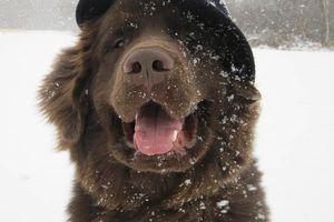 Neufundländer Lohmann sitzt im Schnee und trägt einen Hut.