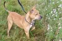 Ein American Staffordshire Terrier steht vor weiß blühenden Blumen.