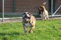 Eine Englische Bulldogge rennt auf die Kamera zu.