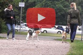 Ein Shiba Inu geht an lockerer Leine an einem ziehenden Beagle vorbei.