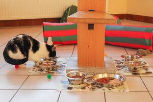 Eine schwarz-weiße Katze sitzt zwischen vielen Futternäpfen und frisst.