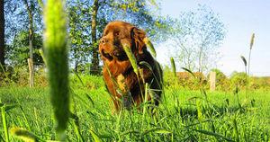 Neufundländer Lohmann steht mit stolzer Haltung im Sonnenlicht auf einer grünen Wiese.