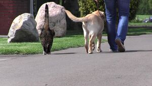 Ein junger Labrador geht an lockerer Leine neben einer Katze.