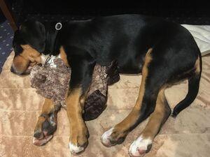 Ein Welpe liegt mit einem Stofftier auf einer Decke und schläft.