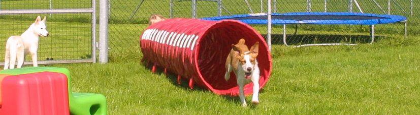 Ein Welpe kommt freudig aus einem Agilitytunnel herausgelaufen.