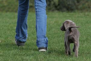 Ein Labrador-Welpe läuft ohne Leine neben einem Menschen.