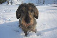 Ein Rauhhaardackel sitzt im Schnee.