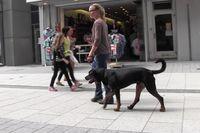 Ein junger Rottweiler geht an lockerer Leine durch die Stadt.