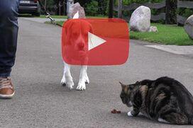 Ein Beagle läuft an locker Leine an einer Katze vorbei.