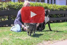 Ein gestromter Boxer sitzt ruhiger neben einer Katze.