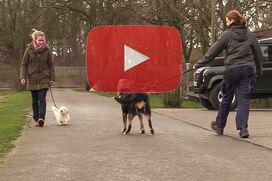 Ein Coton de Tuléar geht an lockerer Leine an einem großen Hund vorbei.
