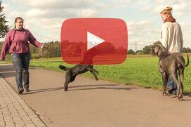 Ein sehr großer, dunkelgrauer Hund geht an lockerer Leine an einem ziehenden Hund vorbei.