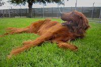 Ein Irish Red Setter liegt auf dem Rasen und genießt die Sonne.