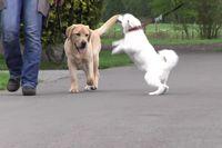 Ein junger, blonder Labrador geht ordentlich an der Leine, während ein Spitz zu ihm zieht.