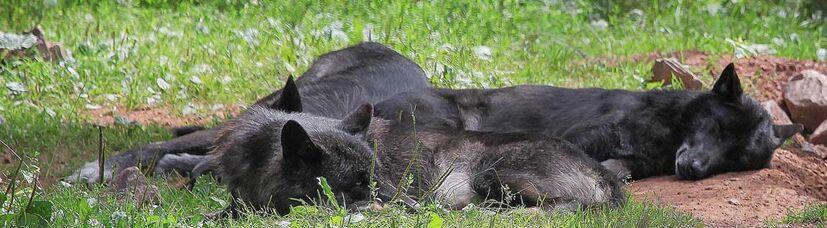 Drei grau-schwarze Wölfe liegen schlafend dicht beieinander.
