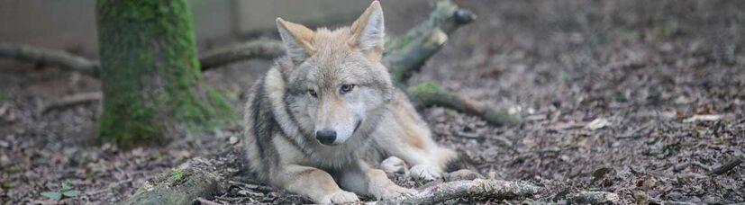 Ein junger mongolischer Wolf liegt auf dem Waldboden vor einem Stock.