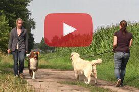 Ein braun-weißer Australian Shepherd geht ruhig an einem ziehenden Hund vorbei.