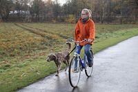 Langhaar-Weimaraner beim Fahrradfahren
