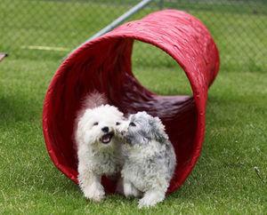 Zwei kleine Hunde laufen gemeinsam aus einem Agilitytunnel heraus.