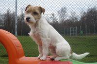 Ein Parson Russell Terrier sitzt auf einem bunten Spielgerät.