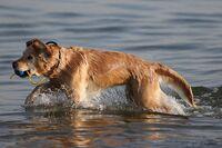 Golden Retriever beim Schwimmen